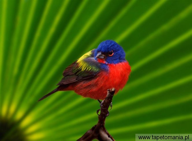 male painted bunting, tapety Ptaki, Ptaki tapety na pulpit, Ptaki
