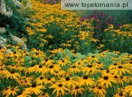 Black eyed Susans f