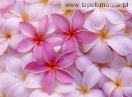Tropical Plumeria
